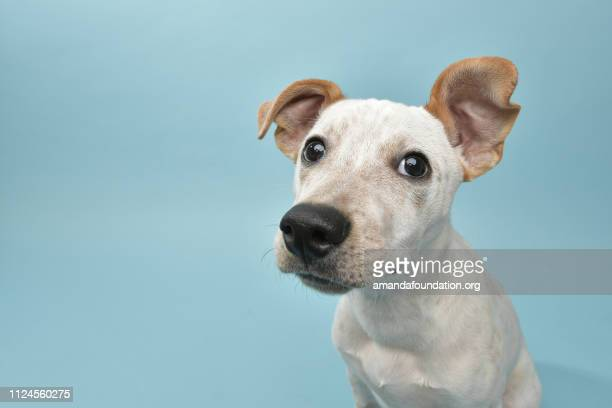 rescue animal - cattle dog mix puppy - curiosity stock pictures, royalty-free photos & images