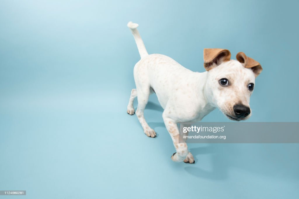 Rescue Animal - Cattle Dog mix puppy : Stock Photo