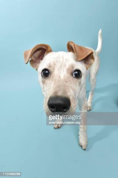 Rescue Animal - Cattle Dog mix puppy