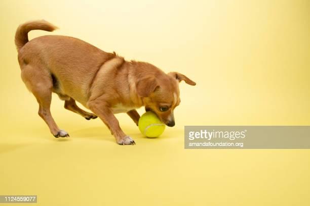 Tier - Chihuahua-Mix zu retten