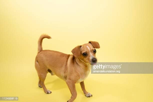 Rescate Animal - mezcla de Chihuahua