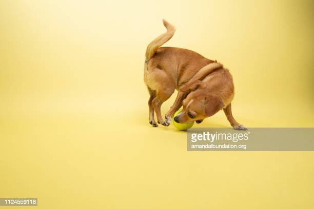 Rescue Animal - Chihuahua mix