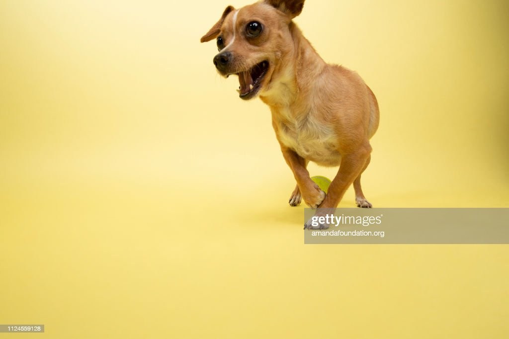 Rescue Animal - Chihuahua mix : Stock Photo