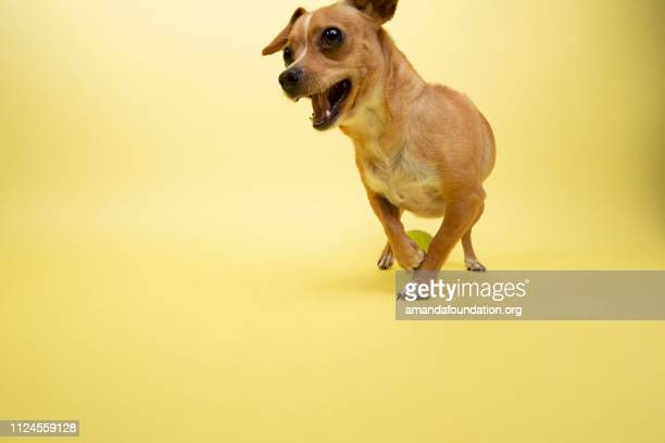 Rescue Animal - Chihuahua mix