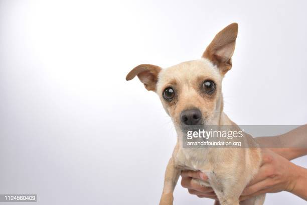 rescue animal - chihuahua mix - amandafoundationcollection stock pictures, royalty-free photos & images