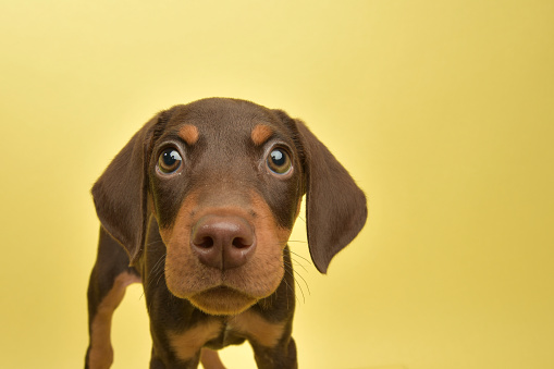 Rescue Animal - cute chocolate and tan Doberman puppy 1124558739