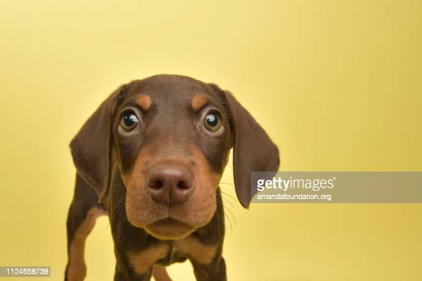 rescue animal - cute chocolate and tan doberman puppy - amandafoundationcollection stock pictures, royalty-free photos & images