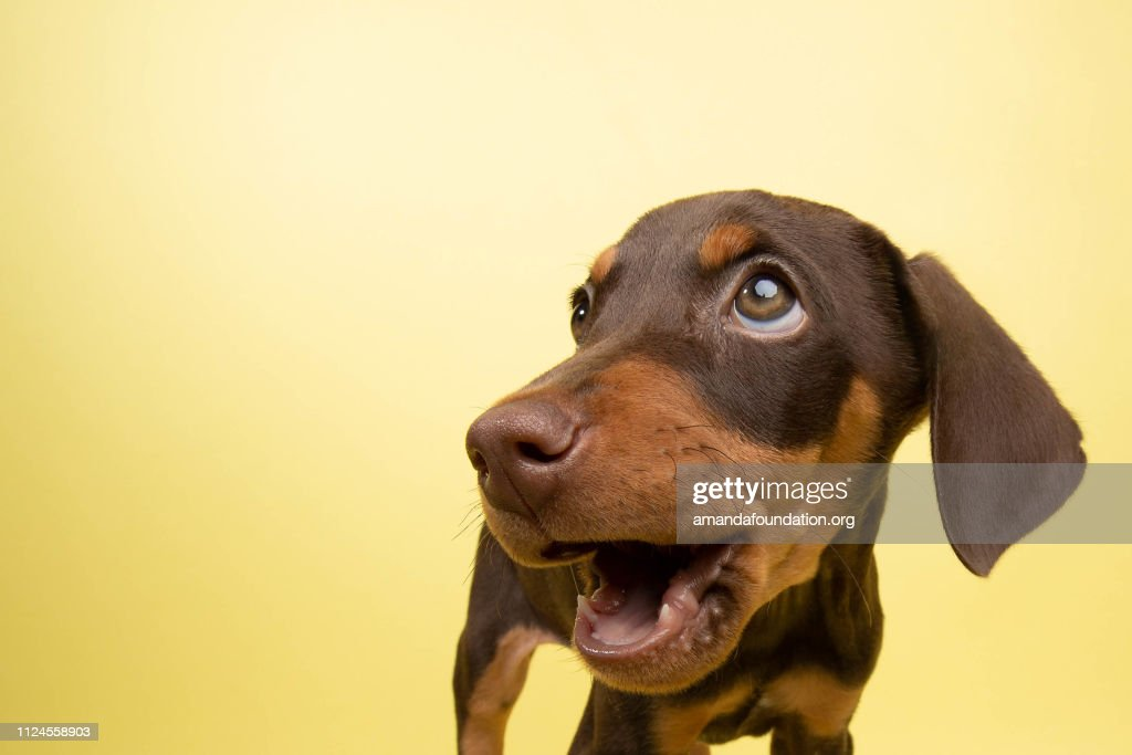 Rescue Animal - cute chocolate and tan Doberman puppy : Stock Photo