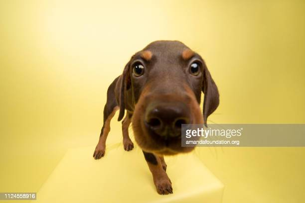 rescue animal - cute chocolate and tan doberman puppy - curiosity stock pictures, royalty-free photos & images