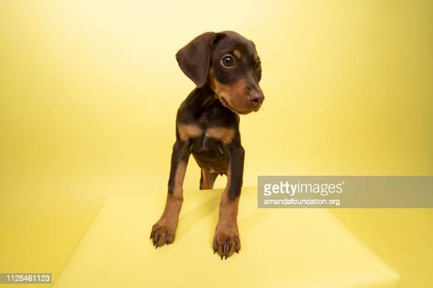 Rescue Animal - cute chocolate and tan Doberman puppy