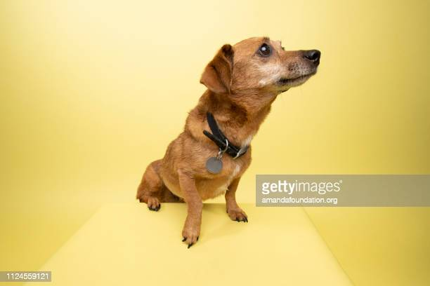 rescue animal - cute female dachshund - amandafoundationcollection stock pictures, royalty-free photos & images