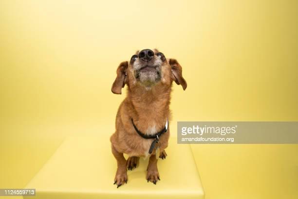 Rescate Animal - Dachshund hembra Linda