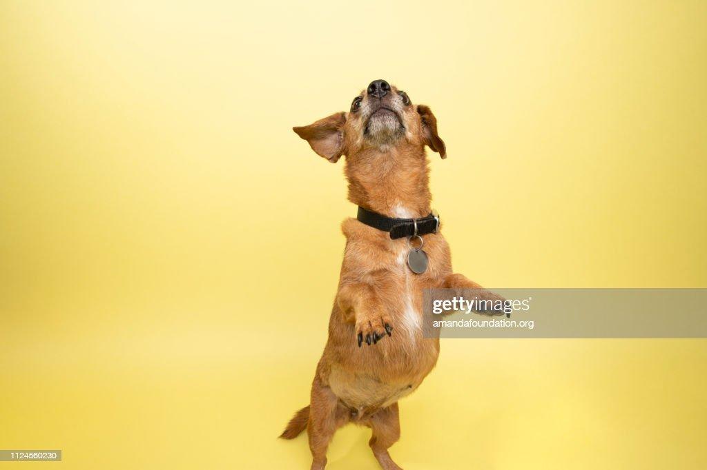 Rescue Animal - cute female Dachshund : Stock Photo