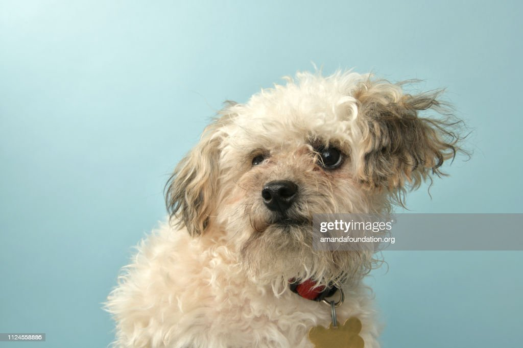 Rescue Animal - Poodle mix puppy : Stock Photo