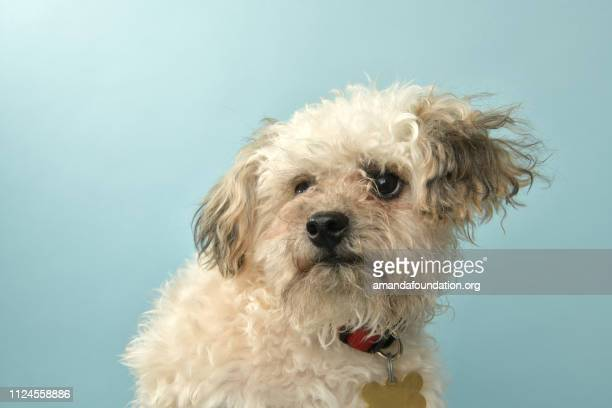 rescue animal - poodle mix puppy - amandafoundationcollection stock pictures, royalty-free photos & images