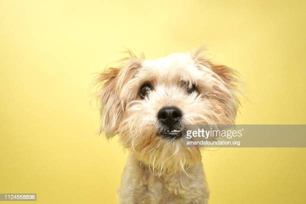 rescue animal - poodle/terrier mix - amandafoundationcollection stock pictures, royalty-free photos & images