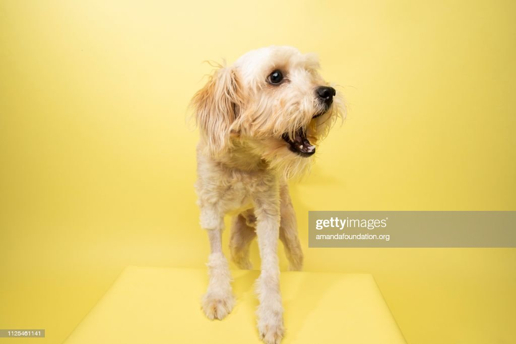 Rescue Animal - Poodle/Terrier mix : Stock Photo