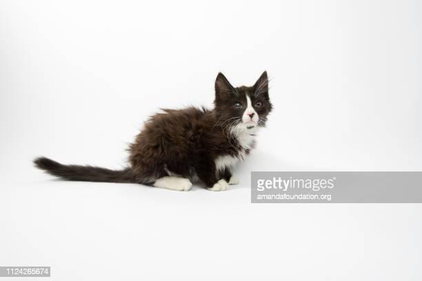 Rescate Animal - retrato de gato doméstico de pelo medio