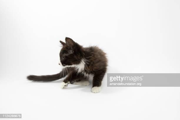 Rescue Animal - portait of Domestic Medium Hair kitten