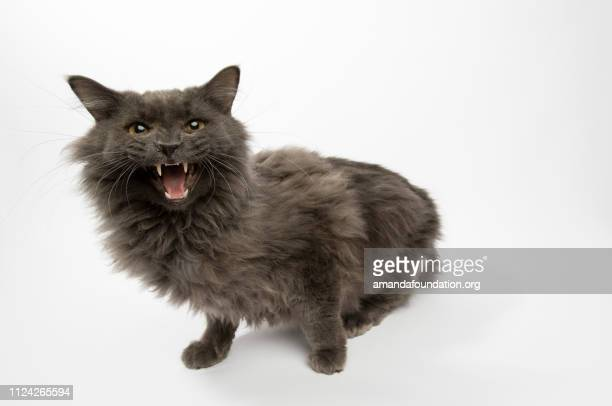 rescue animal - portrait of domestic longhair cat - amandafoundationcollection stock pictures, royalty-free photos & images