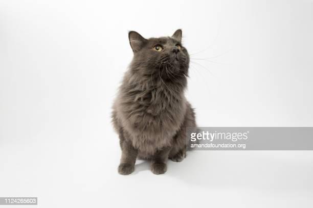 Rescate Animal - retrato de gato doméstico Longhair