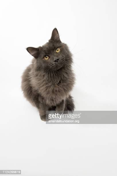 rescue animal - portrait of domestic longhair cat - animal whisker stock pictures, royalty-free photos & images