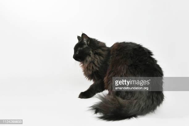 sauvetage animal - portrait de chat domestique poil long - amandafoundationcollection photos et images de collection