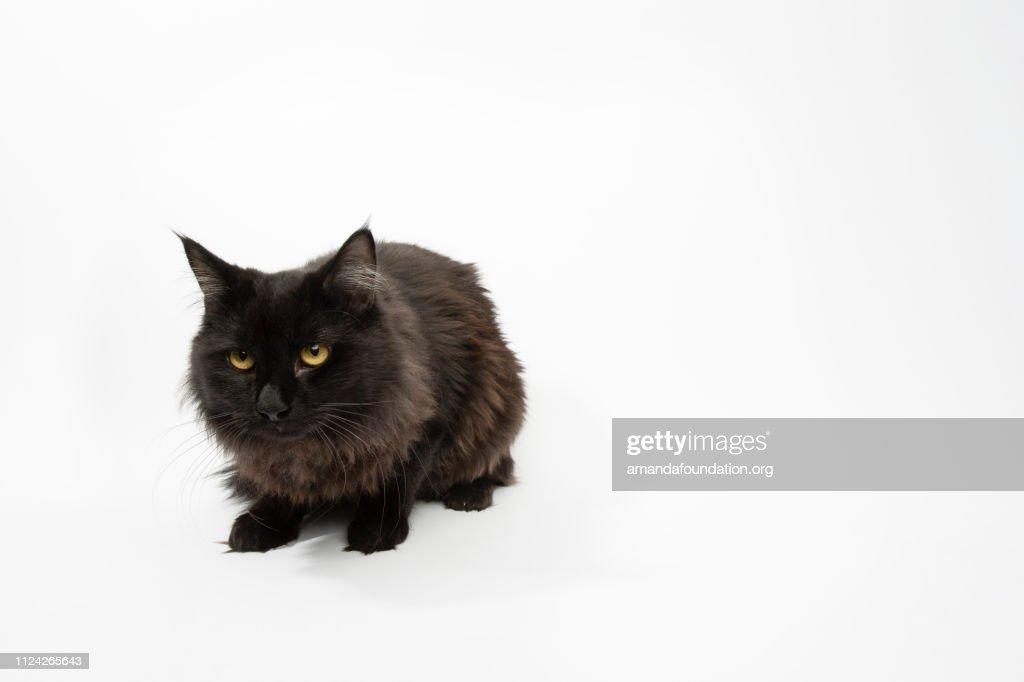 Rescue Animal - portrait of Domestic Longhair cat : Stock Photo