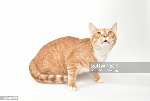 Rescue Animal - portrait of Domestic Shorthair cat
