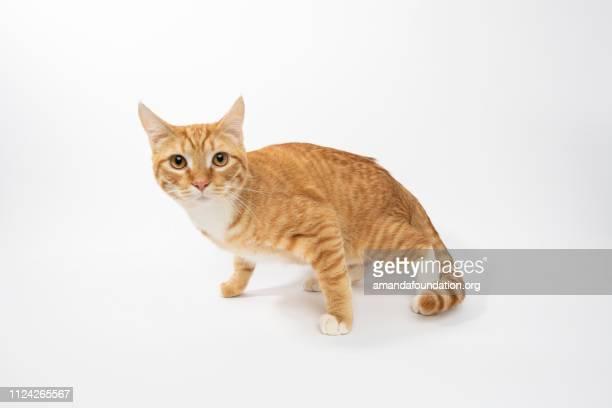 Rescue Animal - portrait of Domestic Shorthair cat