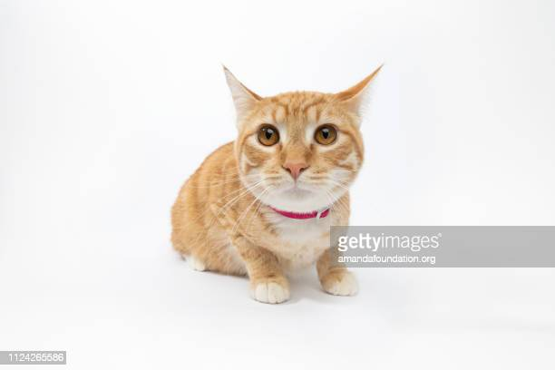 rescue animal - portrait of domestic shorthair cat - amandafoundationcollection stock pictures, royalty-free photos & images