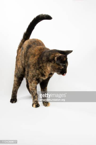 Rescue Animal - portrait of Tortoiseshell Domestic Shorthair cat