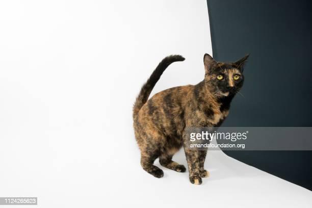 Rescue Animal - portrait of Tortoiseshell Domestic Shorthair cat