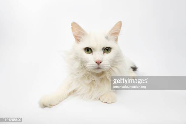 Rescue Animal - portrait of white and black Domestic Longhair cat