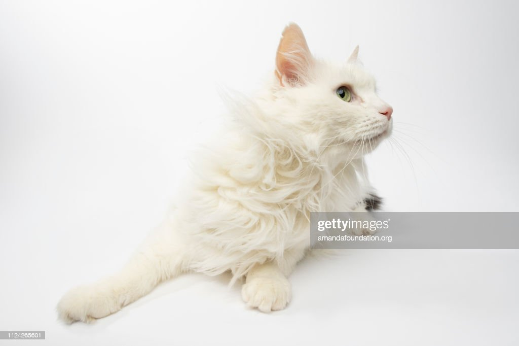 Rescue Animal - portrait of white and black Domestic Longhair cat : Stock Photo