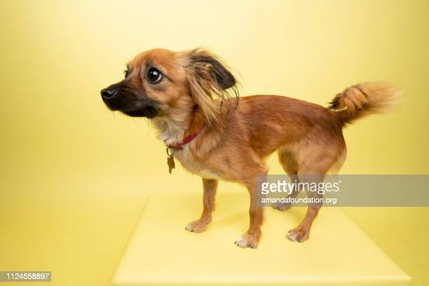 rescue animal - red and black dachshund mix dog - amandafoundationcollection stock pictures, royalty-free photos & images