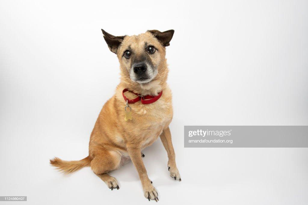Rescue Animal - Shiba Inu mix : Stock Photo