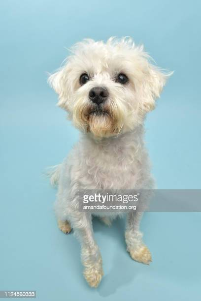 rescue animal - terrier/poodle mix - amandafoundationcollection foto e immagini stock