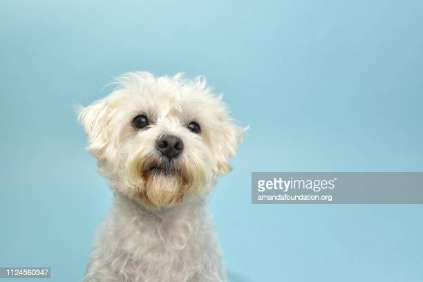 rescue animal - terrier/poodle mix - amandafoundationcollection stock pictures, royalty-free photos & images