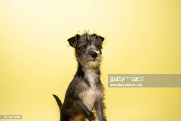 rescue animal - terrier/schnauzer mix puppy - amandafoundationcollection stock pictures, royalty-free photos & images