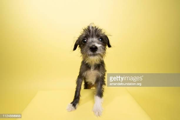 Rescue Animal - Terrier/Schnauzer mix puppy