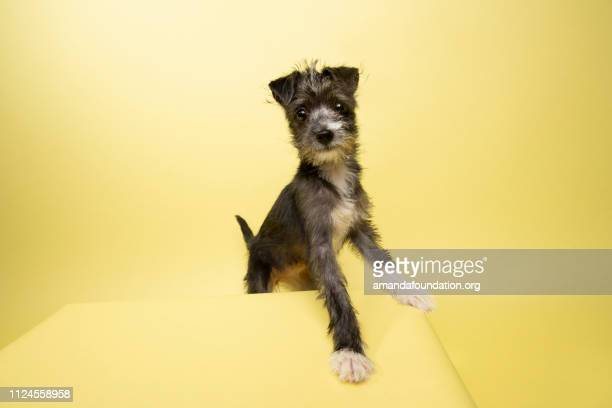 rescue animal - terrier/schnauzer mix puppy - amandafoundationcollection foto e immagini stock