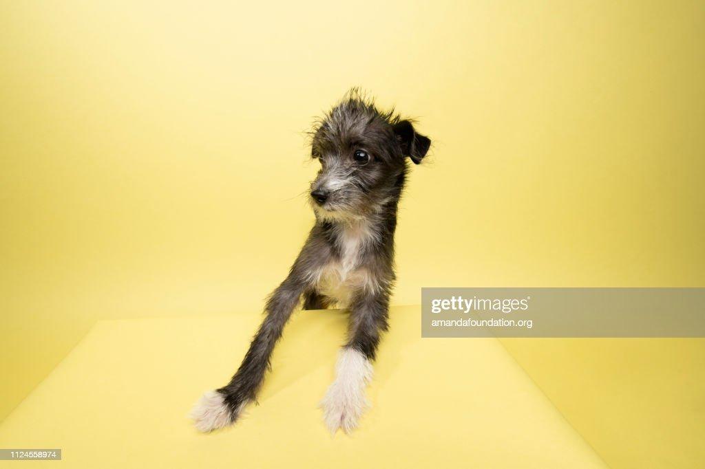 Rescue Animal - Terrier/Schnauzer mix puppy : Stock Photo