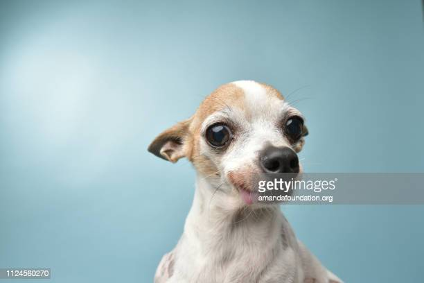 rescue animal - tricolor chihuahua - amandafoundationcollection stock pictures, royalty-free photos & images