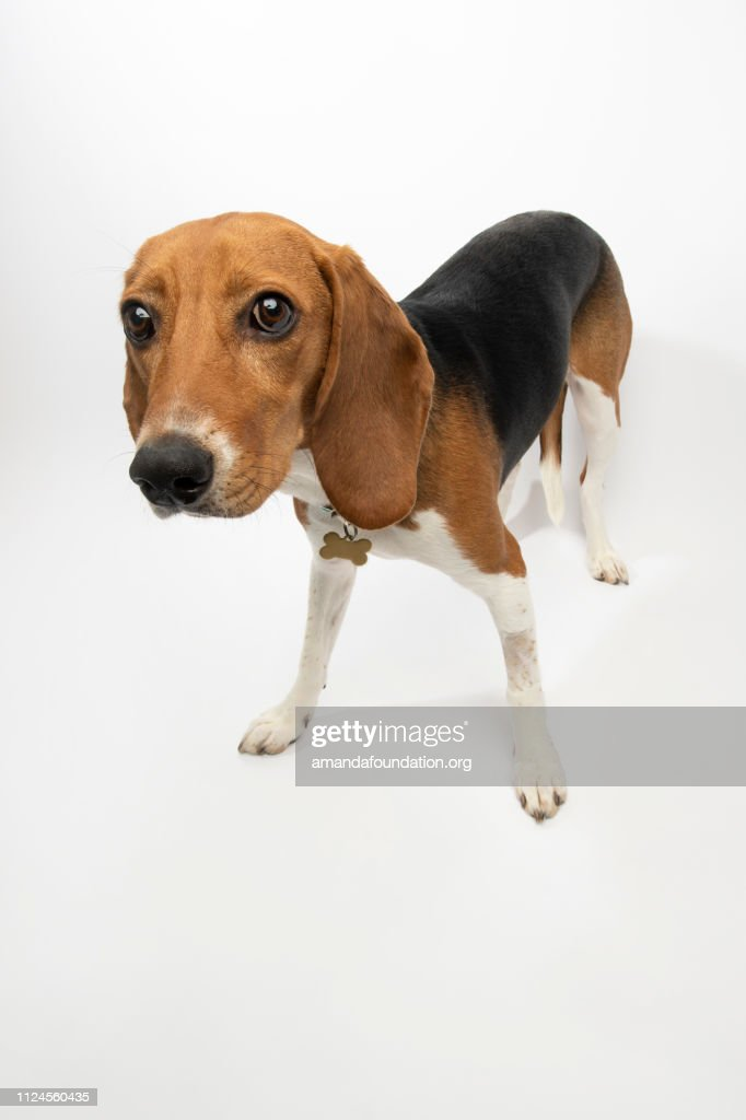 Rescue Animal - tricolor Harrier Hound : Stock Photo