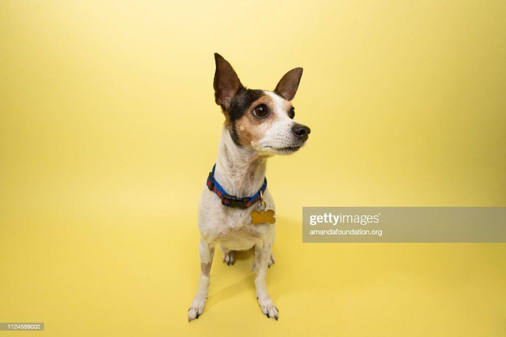 Rescue Animal - tricolor Rat Terrier mix : Stock Photo
