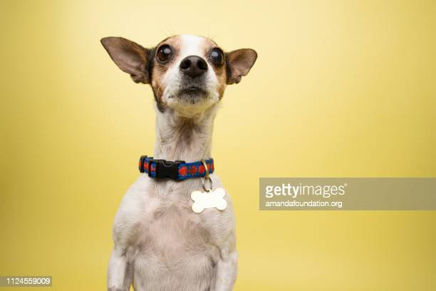 Rescue Animal - tricolor Rat Terrier mix