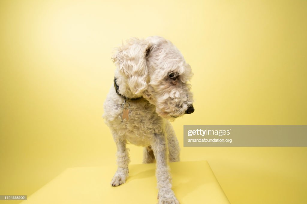 Rescue Animal - white Poodle mix : Stock Photo
