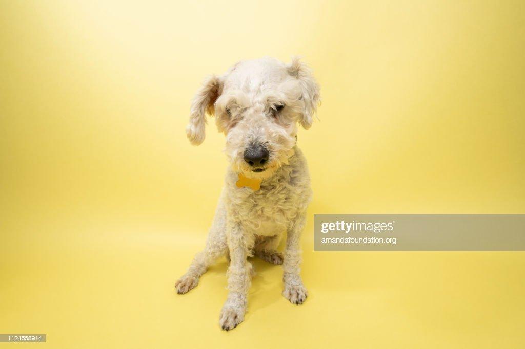 Rescue Animal - white Poodle mix : Stock Photo