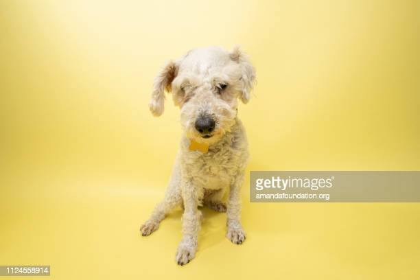 Rescue Animal - white Poodle mix